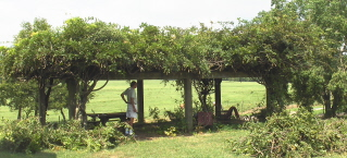 almost finished pruning the wisteria arbor