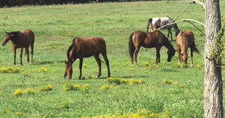 The horses come out to graze in the early evening