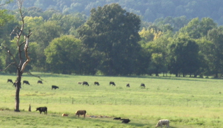 The cows disappear into the woods during the heat of the day and come out to graze in the early evening.