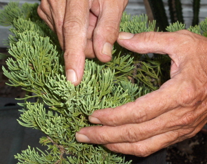 "The first principle of bonsai, ""If you cut off the apical buds, the plant will spread out"""