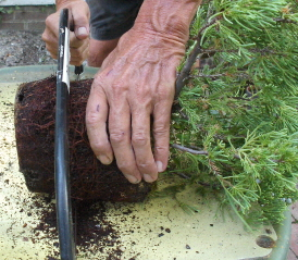 root pruning the new bonsai candidate