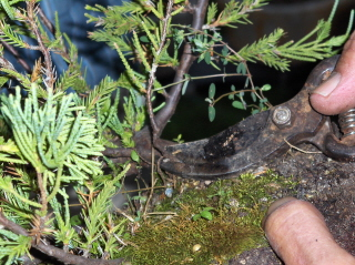 cutting the side growth of the trunk for the new bonsai