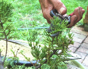 carefully trimming the tops of the bonsai will promote branching and filling out.