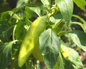 Sweet banana peppers are an essential for chow chow.