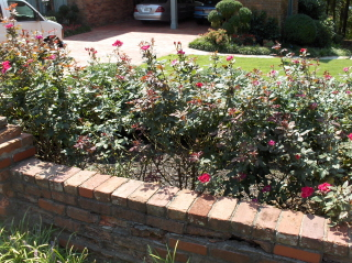 My mother said to prune the Knockout Roses for Labor Day and they would bloom until a hard freeze.