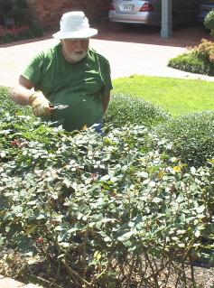 Nelson helps to prune the roses.