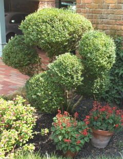 Turn an ugly, misshaped boxwood into a beautiful topiary