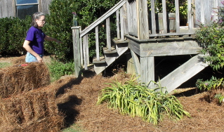 mulching with pine straw, getting ready for pansies