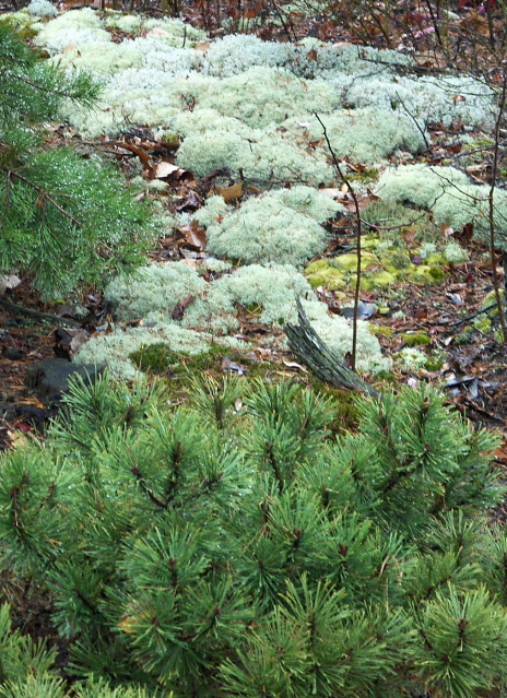 nature's landscape art with dwarf pine and lichen
