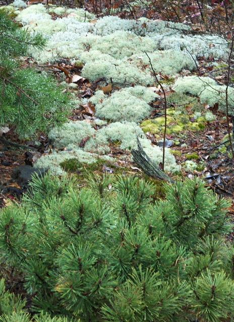nature's landscape art with dwarf pine and lichen