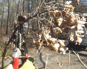 Deadheading and pruning hydrangeas in January (3/5)