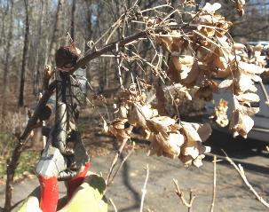 Cutting dead blooms from oakleaf hydrangeas