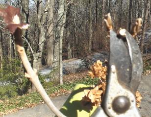 Deadheading and pruning hydrangeas in January (4/5)