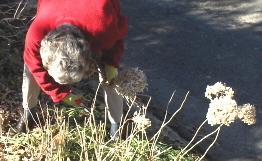 Deadheading and pruning hydrangeas in January (2/5)