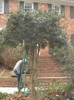 Trim the top of the tree to a manageable height