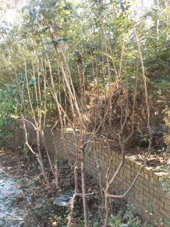 Tree form lorapetalums ready to grow out