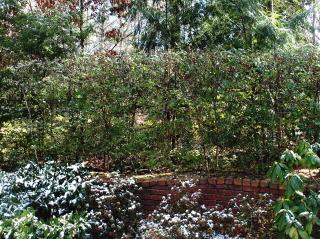 A shaped lorapetalum hedge for privacy