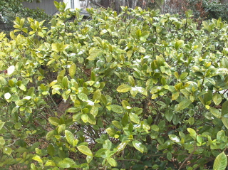 overgrown gardenias-yellow leaves denote a need for nutrients