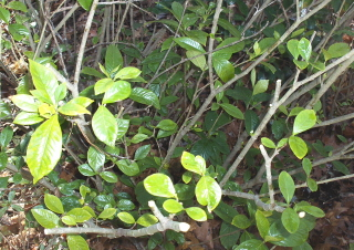 The gardenia's inner growth needs light.  The spindly branches need to be shortened for strength