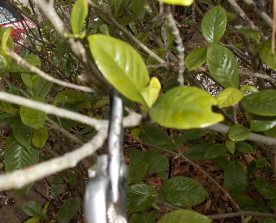 When pruning the gardenia, carefully cut just above new growth.