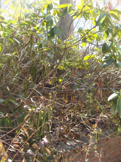 Time to take the dead and diseased growth out of the rhododendrons