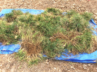 Mondo grass clumps ready for dividing