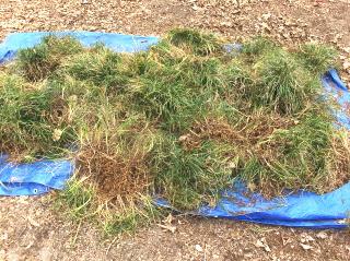 Mondo grass clumps ready for dividing