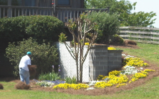 Sprucing up the pansy planting with fresh pine straw really shows off the flowers