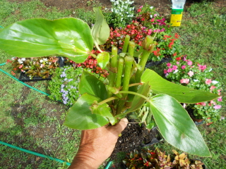 Dragon wing begonia pruned and ready to plant
