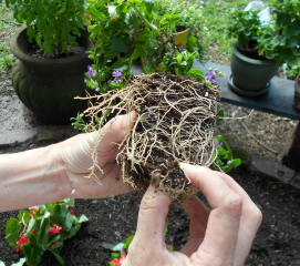 Break up the root balls to provide for better root development and, therefore, better plants.