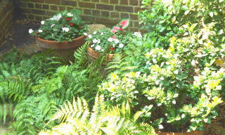 Containers of impatiens behind autumn ferns