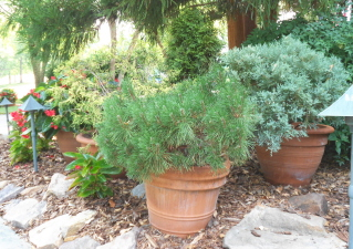 cypress chips, rocks, and containers with shaped evergreens