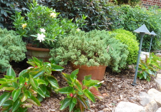 Bedding plants form a nice frame for the containerized evergreens.  I love the gardenia bloom