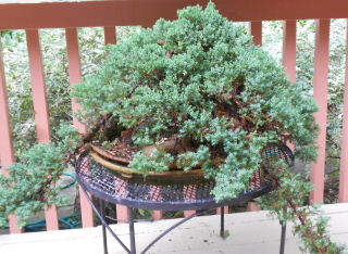 neglected bonsai tree needs pruning