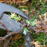 How to prune and reshape an overgrown bonsai tree
