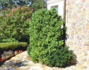 Overgrown arborvitae needs pruning because it blocks the view from inside