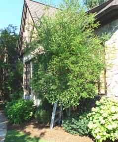 "We also need to shape up this yaupon holly tree, ""before"" picture"