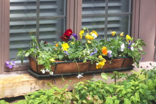 A pansy planter on the outside windowsill will flower all winter