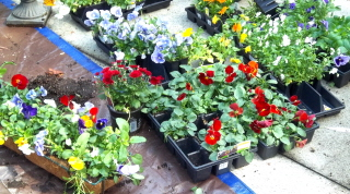 Choose just the right colors of pansies for the planters