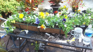arranging pansies for lots of color and interest