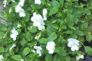 Violas will fill in and enhance the sides and fronts of the planters