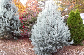 cypress, arborvitae, and rose for privacy screen