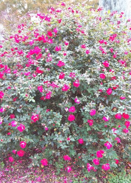 Large Knockout rose--never pruned