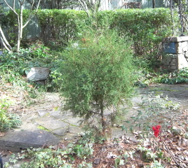 Turn a small tree into a topiary. Study the tree before starting