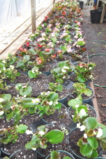 begonias in larger pots ready to grow and thrive