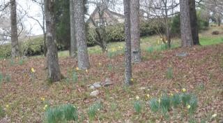 daffodils on the hillside