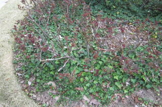 Late winter is a good time to control unwanted ivy