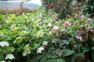 Lenten rose in the late winter garden, N. Georgia