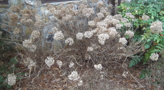 Time to shape the Annabelle hydrangeas and get rid of those old flower heads