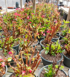 begonias saved from last year